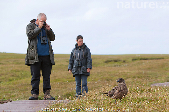 Birdwatchers watching and photographing a Great skua (Stercorarius skua), Shetland Isles, Scotland, UK, July 2011  ,  2020VISION, bird watching, BIRDS, birdwatching, camera, cameras, COASTAL-WATERS, eco tourism, ecotourism, EUROPE, LEISURE, MAN, MEN, MOORLAND, one, outdoors, PEOPLE, photographer, PHOTOGRAPHY, SCOTLAND, SEABIRDS, seas, SKUAS, Stercorarius skua, TOURISM, two, UK, VERTEBRATES,United Kingdom  ,  Peter Cairns / 2020VISION