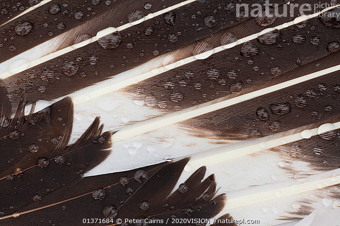 Great skua (Stercorarius skua), wing feather detail with water droplets, Shetland Isles, Scotland, UK, July  ,  2020VISION, abstracts, BIRDS, CLOSE-UPS, COASTAL-WATERS, DETAILS, DEW, eco tourism, ecotourism, EUROPE, FEATHERS, SCOTLAND, SEABIRDS, seas, SKUAS, Stercorarius skua, UK, VERTEBRATES, WINGS,United Kingdom  ,  Peter Cairns / 2020VISION