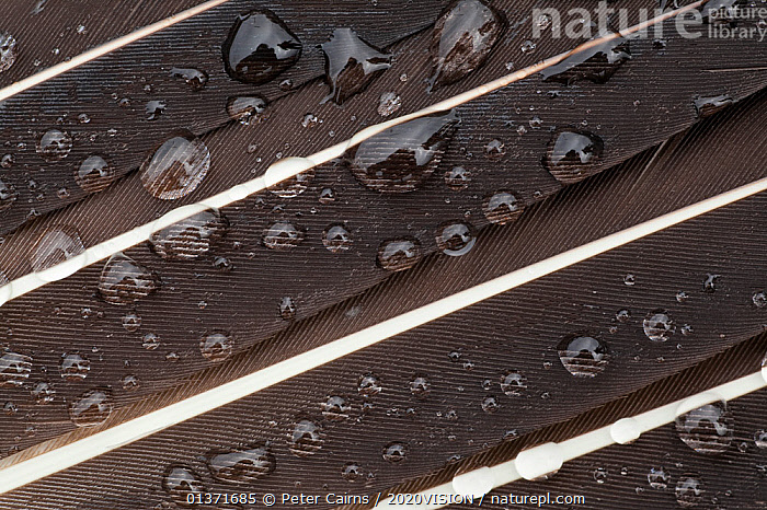 Great skua (Stercorarius skua) wing feather detail with water droplets, Shetland Isles, Scotland, UK, July  ,  2020VISION, abstracts, BIRDS, CLOSE-UPS, COASTAL-WATERS, DETAILS, DEW, eco tourism, ecotourism, EUROPE, FEATHERS, SCOTLAND, SEABIRDS, seas, SKUAS, Stercorarius skua, UK, VERTEBRATES, WINGS,United Kingdom  ,  Peter Cairns / 2020VISION