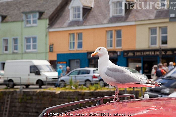 Herring gull (Larus argentatus) standing on the roof of a car, Portree, Skye, Inner Hebrides, Scotland, UK, June  ,  BIRDS,COASTAL WATERS,ECO TOURISM,EUROPE,ONE,SEABIRDS,2020VISION,ECOTOURISM,GULLS,LARIDAE,SCOTLAND,SEAS,TOWNS,UK,VEHICLES,VERTEBRATES,United Kingdom  ,  Peter Cairns / 2020VISION