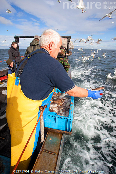 Fisherman throwing out fish scraps to attract seabirds for tourists and photographers on boat trip to Bass Rock, North Berwick, Scotland, UK, July 2010  ,  2020VISION,BIRD WATCHING,ECOTOURISM,FLOCKS,LEISURE,MIXED FLOCKS,PEOPLE,SCOTLAND,SEAS,TOURISM,UK,BIRDWATCHING,BOATS,CHUMMING,COASTAL WATERS,ECO TOURISM,EUROPE,FLYING,GANNETS,OUTDOORS,SEABIRDS,United Kingdom  ,  Peter Cairns / 2020VISION