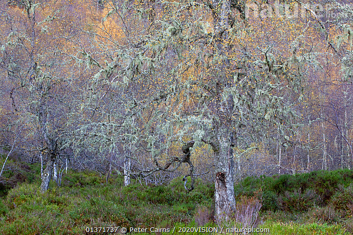 Ancient Silver birch tree (Betula pendula), standing in autumnal woodland, Glen Affric, Scotland, UK, October 2011  ,  ANCIENT,AUTUMN,BETULA VERRUCOSA,CALEDONIAN,DECIDUOUS,EUROPE,FORESTS,PLANTS,REGENERATION,RESTORATION,TREES,UPLANDS,2020VISION,BETULACEAE,DICOTYLEDONS,HIGHLANDS,LICHENS,PINE FOREST,PINEWOODS,SCOTLAND,UK,WOODLANDS,United Kingdom  ,  Peter Cairns / 2020VISION