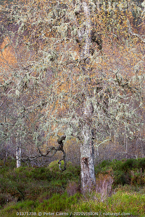 Ancient Silver birch tree (Betula pendula) standing in autumnal woodland, Glen Affric, Scotland, UK, October 2011  ,  2020VISION,BETULACEAE,DICOTYLEDONS,HIGHLANDS,LEAVES,LICHENS,PINE FOREST,PINEWOODS,SCOTLAND,UK,WOODLANDS,YELLOW,ANCIENT,AUTUMN,BETULA VERRUCOSA,CALEDONIAN,DECIDUOUS,EUROPE,FORESTS,PLANTS,REGENERATION,RESTORATION,TREES,UPLANDS,VERTICAL,United Kingdom  ,  Peter Cairns / 2020VISION