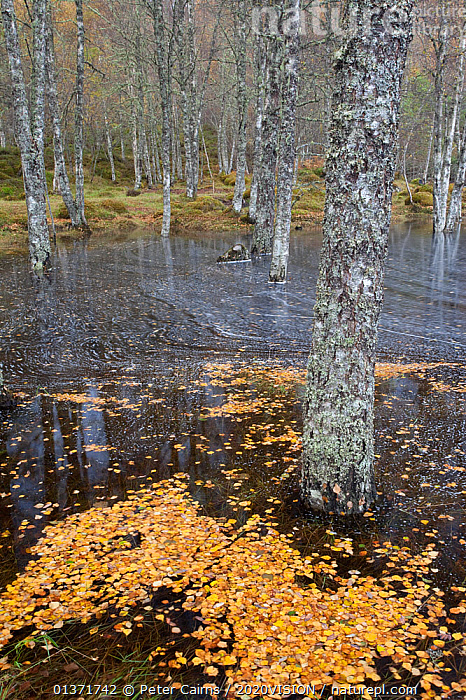Flooded Silver birch (Betula pendula) woodland, with trunks standing in water, Glen Affric, Scotland, UK, October 2011  ,  2020VISION,ANCIENT,AUTUMN,BETULA VERRUCOSA,BETULACEAE,CALEDONIAN,DECIDUOUS,DICOTYLEDONS,EUROPE,FLOOD,FLOODED,FLOODING,FORESTS,HIGHLANDS,LEAVES,PINE FOREST,PINEWOODS,PLANTS,REGENERATION,RESTORATION,SCOTLAND,TREES,UK,UPLANDS,VERTICAL,WATER,WOODLANDS,YELLOW,United Kingdom  ,  Peter Cairns / 2020VISION
