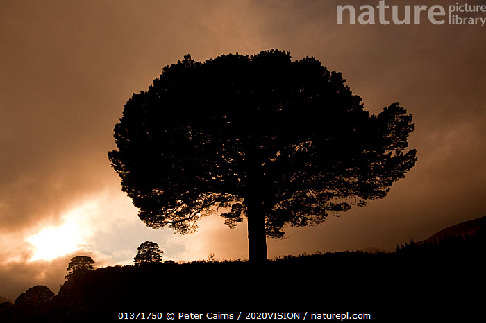 Scots pine (Pinus sylvestris), silhouetted against a moody sky, Glen Affric, Scotland, UK, October 2011  ,  2020VISION,ATMOSPHERIC,AUTUMN,CALEDONIAN,CLOUDS,CONIFERS,EUROPE,FORESTS,GYMNOSPERMS,HIGHLANDS,PINACEAE,PINE FOREST,PINES,PINEWOODS,PLANTS,REGENERATION,RESTORATION,SCOTLAND,SILHOUETTES,TREES,UK,UPLANDS,WOODLANDS,Weather,United Kingdom  ,  Peter Cairns / 2020VISION