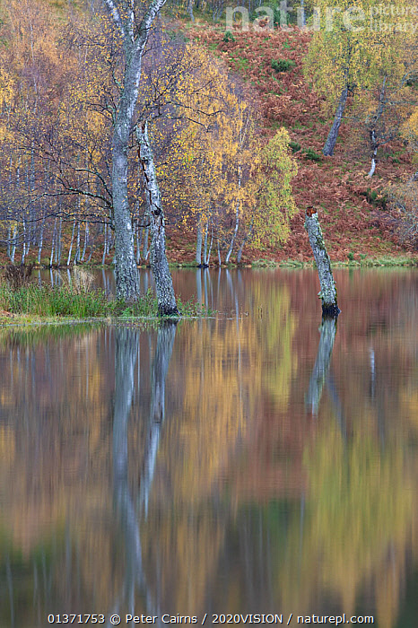 Silver birch (Betula pendula) trees with reflections in water, autumn, Loch Pityoulish, Cairngorms NP, Scotland, UK, October 2011  ,  2020VISION,BETULACEAE,CALM,DICOTYLEDONS,HIGHLANDS,NP,PINE FOREST,PINEWOODS,RESERVE,SCOTLAND,TRUNKS,UK,WOODLANDS,AUTUMN,BETULA VERRUCOSA,CAIRNGORMS,CALEDONIAN,EUROPE,FORESTS,LAKES,PLANTS,REFLECTIONS,REGENERATION,RESTORATION,TREES,UPLANDS,VERTICAL,National Park,United Kingdom  ,  Peter Cairns / 2020VISION