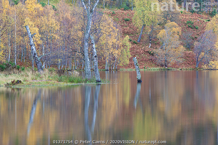 Silver birch (Betula pendula) trees with reflections in water, autumn, Loch Pityoulish, Cairngorms NP, Scotland, UK, October 2011  ,  AUTUMN,BETULA VERRUCOSA,CAIRNGORMS,CALEDONIAN,EUROPE,FORESTS,LAKES,PLANTS,REFLECTIONS,REGENERATION,RESTORATION,TREES,UPLANDS,2020VISION,BETULACEAE,CALM,DICOTYLEDONS,HIGHLANDS,NP,PINE FOREST,PINEWOODS,RESERVE,SCOTLAND,TRUNKS,UK,WOODLANDS,National Park,United Kingdom  ,  Peter Cairns / 2020VISION