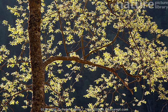 Willow tree (salix sp.) backlit in spring, Glen Affric, Scotland, UK, May  ,  2020VISION,CAIRNGORMS,CALEDONIAN,DECIDUOUS,DICOTYLEDONS,EUROPE,FORESTS,GREEN,HIGHLANDS,LEAVES,NP,PINE FOREST,PINEWOODS,PLANTS,REGENERATION,RESERVE,RESTORATION,SALICACEAE,SCOTLAND,SPRING,TREES,UK,UPLANDS,WOODLANDS,National Park,United Kingdom  ,  Peter Cairns / 2020VISION
