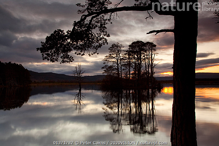 RF- Sunset over Loch Mallachie, with Scots pine (Pinus sylvestris) silhouetted in foreground, Cairngorms National Park, Scotland, UK, November 2011. (This image may be licensed either as rights managed or royalty free.)  ,  2020VISION,cairngorms,Caledonian,CONIFERS,DAWN,DUSK,EUROPE,FORESTS,GYMNOSPERMS,HIGHLANDS,LAKES,NP,PINACEAE,pine forest,PINES,pinewoods,PLANTS,REFLECTIONS,regeneration,RESERVE,restoration,SCOTLAND,SILHOUETTES,SUNRISE,SUNSET,TREES,TRUNKS,twilight,UK,UPLANDS,,PINUS SYLVESTRIS,Plant,Vascular plant,Conifer,Pine tree,Scots pine tree,Plantae,Plant,Tracheophyta,Vascular plant,Pinopsida,Conifer,Gymnosperm,Spermatophyte,Pinophyta,Coniferophyta,Coniferae,Spermatophytina,Gymnospermae,Pinales,Pinaceae,Pinus,Pine tree,Pine,Pinus sylvestris,Scots pine tree,Pinus ericetorum,Pinus frieseana,The End,Nobody,Dark,Europe,Western Europe,UK,Great Britain,Scotland,Back Lit,Reflection,Outdoors,Winter,Nature,Freshwater,Lake,Water Surface,Water,Silhouette,Cairngorms National Park,Loch,Coniferous,Still water,RF,Royalty free,RFCAT1,RF17Q1,Loch Mallachie,Tree,Trees  ,  Peter  Cairns / 2020VISION