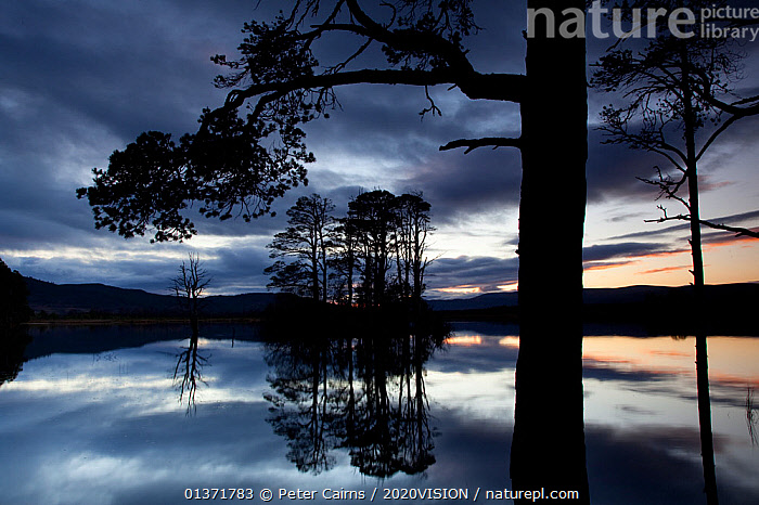 Dusk over Loch Mallachie, with Scots pine (Pinus sylvestris) silhouetted in foreground, Cairngorms NP, Scotland, UK, November 2011  ,  2020VISION,CAIRNGORMS,CALEDONIAN,CONIFERS,DAWN,DUSK,EUROPE,FORESTS,GYMNOSPERMS,HIGHLANDS,LAKES,NP,PINACEAE,PINE FOREST,PINES,PINEWOODS,PLANTS,REFLECTIONS,REGENERATION,RESERVE,RESTORATION,SCOTLAND,SILHOUETTES,TREES,TRUNKS,TWILIGHT,UK,UPLANDS,WOODLANDS,National Park,United Kingdom  ,  Peter Cairns / 2020VISION