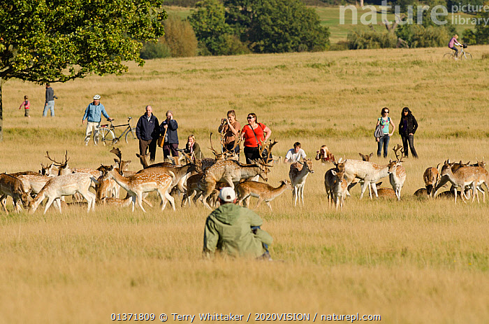 People watching herd of Fallow deer (Dama dama) including a pair mating, rutting season, Richmond Park, London, UK, October  ,  2020VISION,ARTIODACTYLA,CERVIDS,COPULATION,DEER,ENGLAND,EUROPE,GROUPS,MALE FEMALE PAIR,MAMMALS,MATING BEHAVIOUR,parkland,Parks,PEOPLE,rut,UK,URBAN,VERTEBRATES,Reproduction,United Kingdom  ,  Terry Whittaker / 2020VISION
