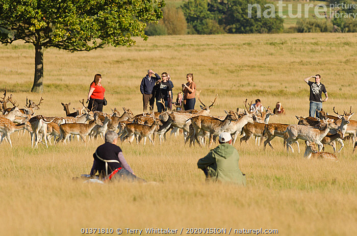 People watching Fallow deer (Dama dama) Richmond Park, London, UK, October  ,  2020VISION,ARTIODACTYLA,CERVIDS,DEER,ENGLAND,EUROPE,GROUPS,MAMMALS,parkland,Parks,PEOPLE,UK,URBAN,VERTEBRATES,United Kingdom  ,  Terry Whittaker / 2020VISION