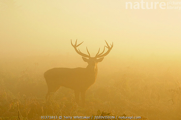 Red deer stag (Cervus elaphus) bellowing in mist at sunrise, rutting season, Bushy Park, London, UK, October  ,  2020VISION,ARTIODACTYLA,BEHAVIOUR,Cervidae,DEER,ENGLAND,EUROPE,MALES,MAMMALS,MATING BEHAVIOUR,MIST,parkland,Parks,rut,SILHOUETTES,SUNRISE,UK,URBAN,VERTEBRATES,United Kingdom  ,  Terry Whittaker / 2020VISION