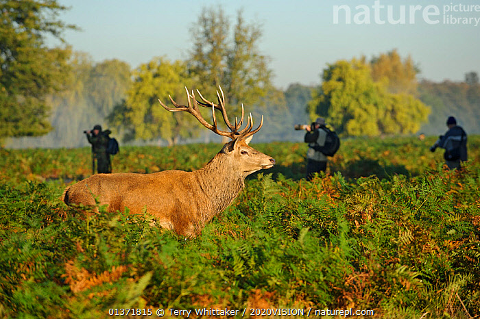 Photographers with Red deer (Cervus elaphus) stag, Bushy Park, London, UK, October  ,  2020VISION,ARTIODACTYLA,Cervidae,DEER,ENGLAND,EUROPE,MALES,MAMMALS,parkland,Parks,PEOPLE,PHOTOGRAPHERS,UK,URBAN,VERTEBRATES,United Kingdom  ,  Terry Whittaker / 2020VISION