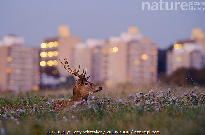 Red deer (Cervus elaphus) buck lying amongst thistles, lights of Roehampton Flats in background, Richmond Park, London, UK, October  ,  2020VISION,ARTIODACTYLA,Cervidae,CITIES,DEER,DUSK,ENGLAND,EUROPE,HEADS,MALES,MAMMALS,parkland,Parks,THISTLES,UK,URBAN,VERTEBRATES,United Kingdom  ,  Terry Whittaker / 2020VISION