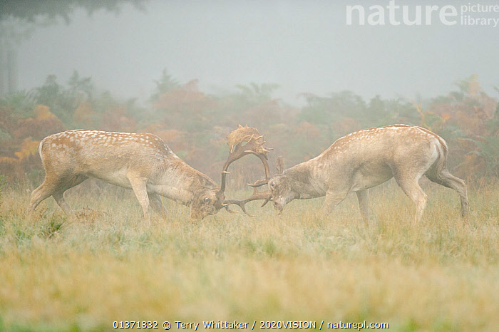 Two Fallow deer (Dama dama) bucks fighting during the rutting season, Richmond Park, London, UK, October  ,  2020VISION,ARTIODACTYLA,BEHAVIOUR,CERVIDS,DEER,DOMINANCE,ENGLAND,EUROPE,FIGHTING,MALES,MAMMALS,MATING BEHAVIOUR,MIST,parkland,Parks,PROFILE,rut,UK,URBAN,VERTEBRATES,Aggression,United Kingdom  ,  Terry Whittaker / 2020VISION