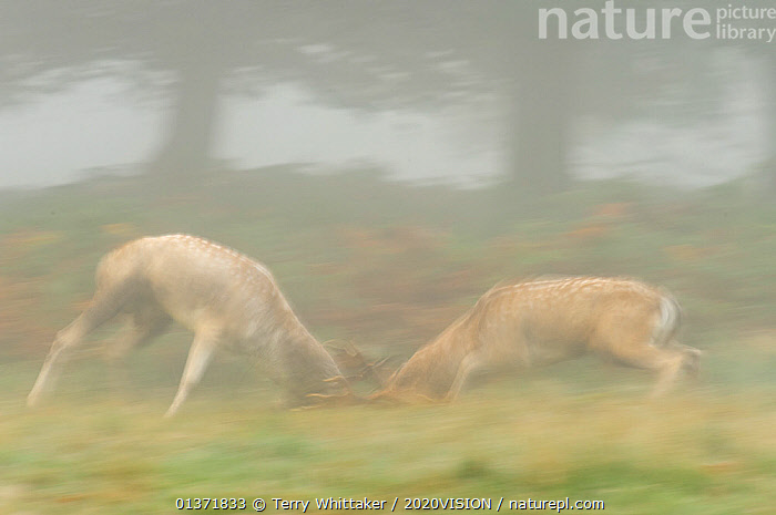 Two Fallow deer (Dama dama) bucks fighting during the rutting season, Richmond Park, London, UK, October  ,  2020VISION,ARTIODACTYLA,BEHAVIOUR,Blurred,CERVIDS,DEER,DOMINANCE,ENGLAND,EUROPE,FIGHTING,MALES,MAMMALS,MATING BEHAVIOUR,MIST,parkland,Parks,rut,UK,URBAN,VERTEBRATES,Aggression,United Kingdom  ,  Terry Whittaker / 2020VISION