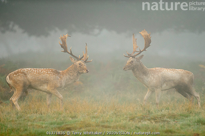 Two Fallow deer (Dama dama) bucks during fight, rutting season, Richmond Park, London, UK, October (This image may be licensed either as rights managed or royalty free.)  ,  2020VISION,ARTIODACTYLA,BEHAVIOUR,CERVIDS,DEER,DOMINANCE,ENGLAND,EUROPE,FIGHTING,MAMMALS,MATING BEHAVIOUR,MIST,parkland,Parks,rut,UK,URBAN,VERTEBRATES,Aggression,United Kingdom,2020cc,RF, royalty free, RF3,,RF3,,RF,  ,  Terry Whittaker / 2020VISION