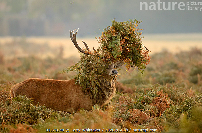 Red deer (Cervus elaphus) stag thrashing bracken, rutting season, Bushy Park, London, UK, October. 2020VISION Book Plate.  ,  2020VISION,Cervidae,DEER,ENGLAND,MALES,MATING BEHAVIOUR,parkland,UK,URBAN,VERTEBRATES,2020vision book plate,ARTIODACTYLA,EUROPE,HUMOROUS,MAMMALS,Parks,rut,Concepts,United Kingdom,2020cc  ,  Terry Whittaker / 2020VISION