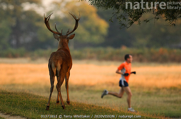 Rear view of Red deer (Cervus elaphus) stag with a man running past, Bushy Park, London, UK, October. 2020VISION Book Plate. Did you know? Henry VIII established this park in 1529 as deer-hunting grounds., 2020vision book plate,ARTIODACTYLA,EUROPE,MAMMALS,MAN,Parks,SPORTS,2020VISION,Cervidae,DEER,ENGLAND,MALES,parkland,PEOPLE,picday,UK,URBAN,VERTEBRATES,United Kingdom,2020cc, Terry Whittaker / 2020VISION