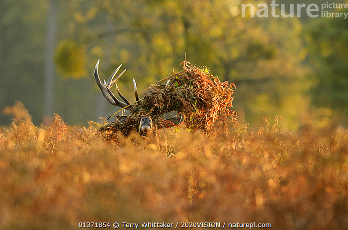 Red deer (Cervus elaphus) stag thrashing bracken, rutting season, Bushy Park, London, UK, October  ,  2020VISION,ARTIODACTYLA,BEHAVIOUR,Cervidae,DEER,ENGLAND,EUROPE,HUMOROUS,MALES,MAMMALS,MATING BEHAVIOUR,parkland,Parks,rut,UK,URBAN,VERTEBRATES,Concepts,United Kingdom  ,  Terry Whittaker / 2020VISION