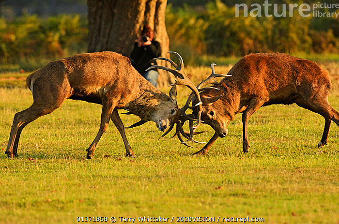 Two Red deer (Cervus elaphus) stags fighting with photographer behind them, rutting season, Bushy Park, London, UK, October  ,  2020VISION,ANTLERS,ARTIODACTYLA,BEHAVIOUR,Cervidae,DEER,DOMINANCE,ENGLAND,EUROPE,FIGHTING,MALES,MAMMALS,MATING BEHAVIOUR,parkland,Parks,PEOPLE,photographer,UK,URBAN,VERTEBRATES,Aggression,United Kingdom  ,  Terry Whittaker / 2020VISION