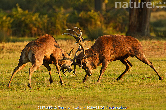 Two Red deer (Cervus elaphus) stags fighting, rutting season, Bushy Park, London, UK, October  ,  2020VISION,ARTIODACTYLA,BEHAVIOUR,Cervidae,DEER,DOMINANCE,ENGLAND,EUROPE,FIGHTING,MALES,MAMMALS,MATING BEHAVIOUR,parkland,Parks,rut,UK,URBAN,VERTEBRATES,Aggression,United Kingdom,2020cc  ,  Terry Whittaker / 2020VISION