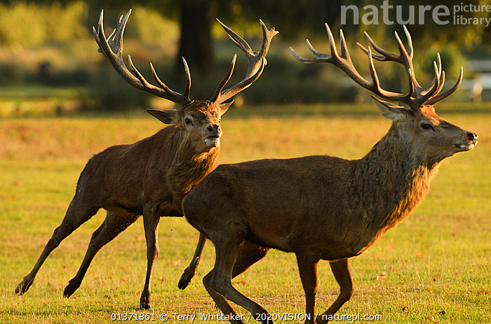 Red deer (Cervus elaphus) stag chasing another during a fight, rutting season, Bushy Park, London, UK, October  ,  2020VISION,ACTION,ARTIODACTYLA,BEHAVIOUR,Cervidae,DEER,DOMINANCE,ENGLAND,EUROPE,FIGHTING,MALES,MAMMALS,MATING BEHAVIOUR,parkland,Parks,RUNNING,rut,two,UK,URBAN,VERTEBRATES,Aggression,United Kingdom,2020cc  ,  Terry Whittaker / 2020VISION