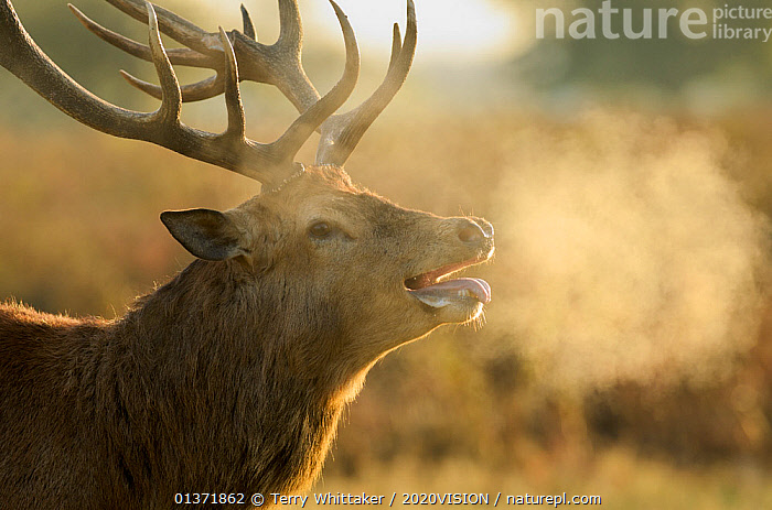 Red deer (Cervus elaphus) stag with steaming breath after fight, rutting season, Bushy Park, London, UK, October. Did you know? Red deer antlers are can grow 2.5 cm a day.  ,  2020VISION,ARTIODACTYLA,breath,Cervidae,DEER,ENGLAND,EUROPE,hot,MALES,MAMMALS,panting,parkland,Parks,picday,PORTRAITS,rut,UK,URBAN,VERTEBRATES,United Kingdom,2020cc  ,  Terry Whittaker / 2020VISION