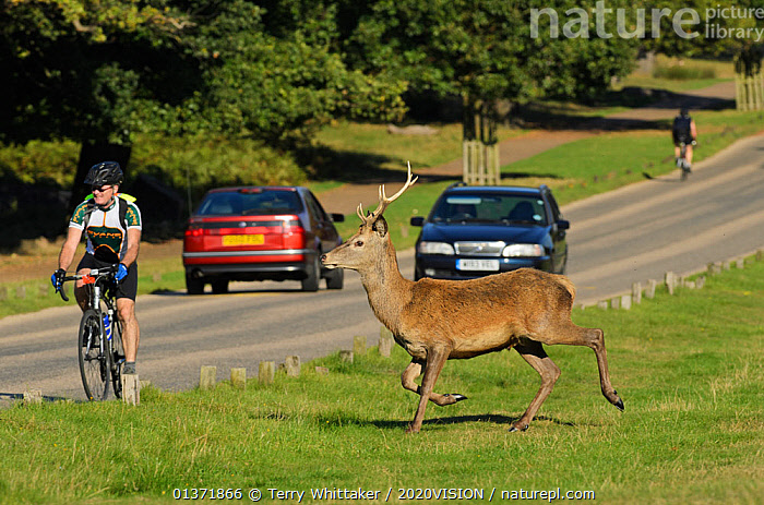 Red deer (Cervus elaphus) about to cross busy road, Richmond Park, London, UK, September  ,  2020VISION,ARTIODACTYLA,cars,Cervidae,CYCLING,DEER,ENGLAND,EUROPE,MAMMALS,parkland,Parks,PEOPLE,ROADS,UK,URBAN,VEHICLES,VERTEBRATES,United Kingdom,2020cc  ,  Terry Whittaker / 2020VISION