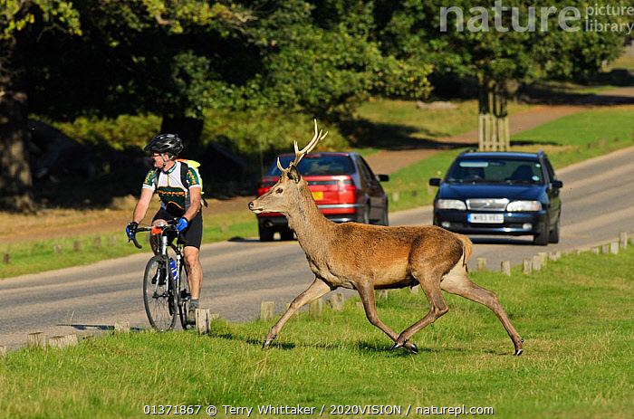 Red deer (Cervus elaphus) about to cross busy road, Richmond Park, London, UK, September. Did you know? Richmond Park is famous for its red deer, but it also has a thriving population of fallow deer.  ,  2020VISION,ARTIODACTYLA,cars,Cervidae,CYCLING,DEER,ENGLAND,EUROPE,MAMMALS,parkland,Parks,PEOPLE,ROADS,RUNNING,UK,URBAN,VERTEBRATES,United Kingdom,PICDAY,2020cc  ,  Terry Whittaker / 2020VISION