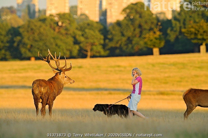 Red deer (Cervus elaphus) stag by woman walking dog and talking on phone, Roehampton Flats in background, Richmond Park, London, UK, September  ,  2020VISION,ARTIODACTYLA,Cervidae,CITIES,DEER,DOGS,ENGLAND,EUROPE,MALES,MAMMALS,parkland,Parks,PEOPLE,PETS,UK,URBAN,VERTEBRATES,WOMAN,United Kingdom  ,  Terry Whittaker / 2020VISION