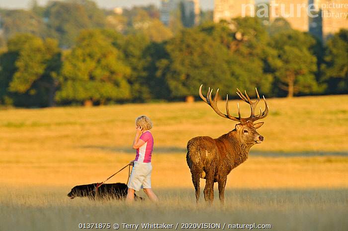 Red deer (Cervus elaphus) and woman walking dog and talking on phone, Roehampton Flats in background, Richmond Park, London, UK, September. Did you know? Richmond Park was set up by King Charles I as a private hunting ground for his courtiers during the Great Plague.  ,  2020VISION,ARTIODACTYLA,Cervidae,CITIES,DEER,DOGS,ENGLAND,EUROPE,MALES,MAMMALS,parkland,Parks,PEOPLE,picday,PETS,UK,URBAN,VERTEBRATES,WOMAN,United Kingdom  ,  Terry Whittaker / 2020VISION