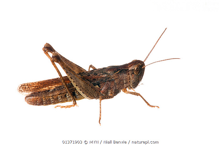 Slantfaced grasshopper (Chorthippus sp.), August  ,  2020VISION, CUTOUT, EUROPE, INSECTS, INVERTEBRATES, ORTHOPTERA, SHORT HORNED GRASSHOPPERS, white background , Meet Your Neighbours  ,  MYN / Niall Benvie