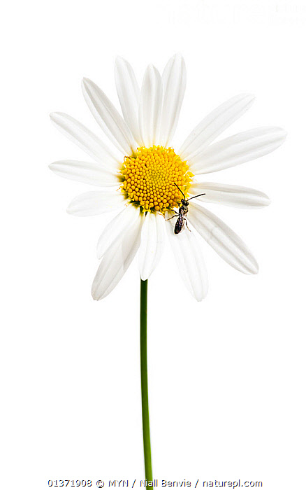 Ox eye daisy (Leucanthemum vulgare) in flower, with wasp (Hymenoptera sp.), August meetyourneighbours.net project  ,  ASTERACEAE,COMPOSITAE,CUTOUT,DICOTYLEDONS,EUROPE,FLOWERS,marguerite,MYN,PLANTS,VERTICAL,white background , Meet Your Neighbours WASPS,INSECTS,ARTHROPODS,HYMENOPTERA,INVERTEBRATES  ,  MYN / Niall Benvie