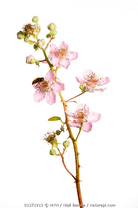 Bramble (Rubus plicatus) in flower, with Hoverfly (Syrphidae), Scotland, UK, September  ,  blackberry, bramble, CUTOUT, DICOTYLEDONS, EUROPE, FLOWERS, PINK, PLANTS, ROSACEAE, UK, VERTICAL, white background,United Kingdom , Meet Your Neighbours  ,  MYN / Niall Benvie