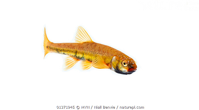 Male Common minnow (Phoxinus phoxinus) in breeding condition, Scotland, UK, May meetyourneighbours.net project  ,  COLOURFUL,CUTOUT,EUROPE,FISH,FRESHWATER,MALES,MINNOWS,MYN,OSTEICHTHYES,UK,VERTEBRATES,white background,United Kingdom , Meet Your Neighbours  ,  MYN / Niall Benvie