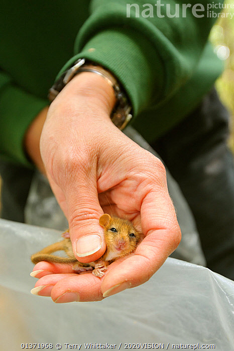 Hazel dormouse (Muscardinus avellanarius), Kent, UK. Members of Kent Mammal Group conduct monthly dormouse survey, September 2011, Model released.  ,  2020VISON,BROADLEAF,CHESTNUT,CONSERVATION,COPPICE,DORMICE,ENDANGERED,ENGLAND,EUROPE,FORESTS,GLIRIDAE,HANDS,MAMMALS,PEOPLE,PROTECTED,RESEARCH,RODENTS,UK,VERTEBRATES,VERTICAL,WOODLANDS,United Kingdom  ,  Terry Whittaker / 2020VISION