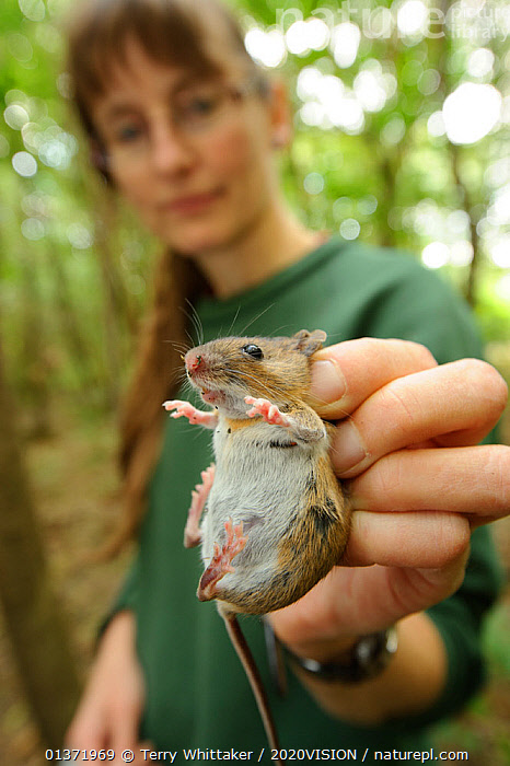 Hazel Ryan, member of the Kent Mammal Group with a Yellow-necked mouse (Apodemus flavicollis) found in Hazel dormouse nestbox, September 2011, Kent, UK, Model released.  ,  2020VISON,BROADLEAF,CHESTNUT,CONSERVATION,COPPICE,DORMICE,DORMOUSE,ENDANGERED,ENGLAND,EUROPE,FORESTS,HANDS,MAMMALS,MICE,MURIDAE,PEOPLE,PROTECTED,RESEARCH,RODENTS,UK,VERTEBRATES,VERTICAL,WOODLANDS,United Kingdom  ,  Terry Whittaker / 2020VISION