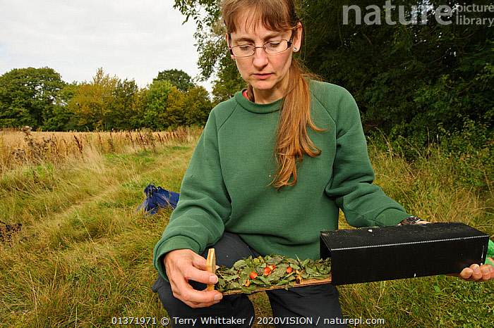 Hazel dormouse (Muscardinus avellanarius), Kent, UK. Members of Kent Mammal Group conduct monthly dormouse survey. Hazel Ryan checking nest tube which has ben used to store food by various species including dormice and yellow-necked mice, September 2011, Model released.  ,  2020VISON,BROADLEAF,CAUCASIAN,CHESTNUT,CONSERVATION,COPPICE,DORMICE,ENDANGERED,ENGLAND,EUROPE,FORESTS,GLIRIDAE,MAMMALS,PEOPLE,PROTECTED,RESEARCH,RODENTS,UK,VERTEBRATES,VERTICAL,WOMAN,WOODLANDS,United Kingdom  ,  Terry Whittaker / 2020VISION