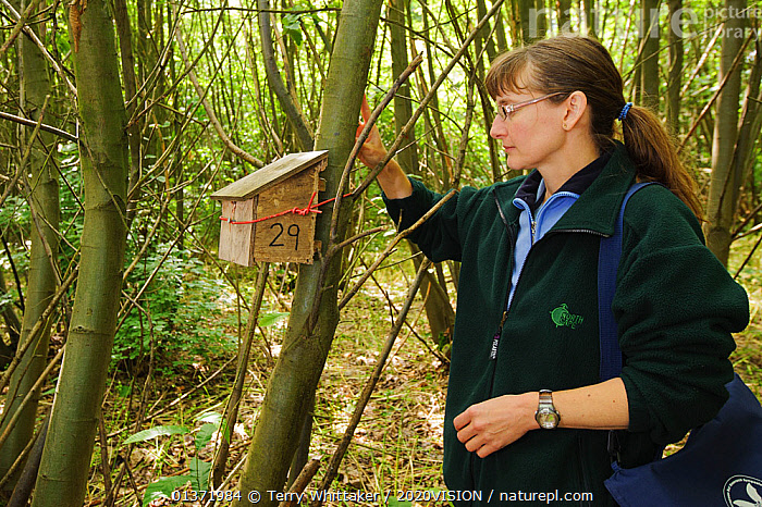 Hazel dormouse (Muscardinus avellanarius), Kent, UK. Members of Kent Mammal Group conduct monthly survey. Hazel Ryan checks dormouse nest box in coppiced woodland, June 2011. Model released.  ,  2020VISON,BROADLEAF,CHESTNUT,CONSERVATION,COPPICE,DORMICE,ENDANGERED,ENGLAND,EUROPE,FORESTS,GLIRIDAE,HABITAT,MAMMALS,NESTBOX,NESTS,OUTDOORS,PEOPLE,PROTECTED,RESEARCH,RODENTS,UK,VERTEBRATES,WOMAN,WOODLANDS,United Kingdom  ,  Terry Whittaker / 2020VISION