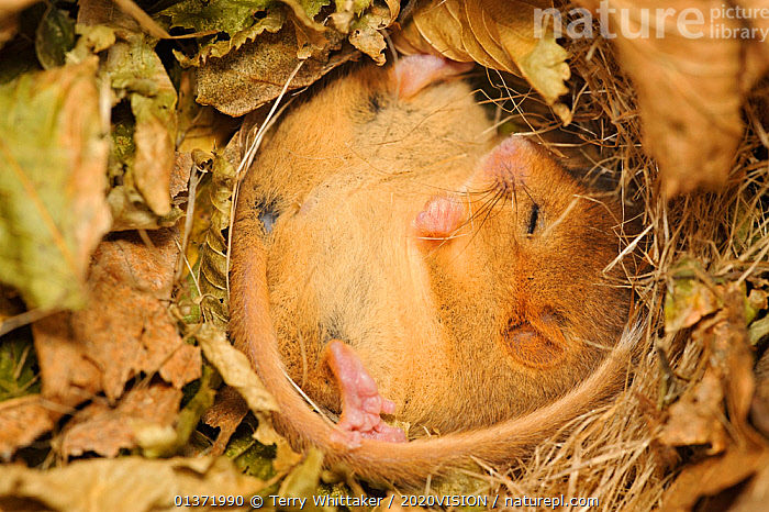 Hazel dormouse (Muscardinus avellanarius), Kent, UK. Members of Kent Mammal Group conduct monthly dormouse survey, torpid dormouse hibernating in nest box in coppiced woodland, November 2011. Did you know? Breeding male Hazel dormice live alone, but females and non-breeding males often nest together.  ,  2020VISON,BROADLEAF,CHESTNUT,CONSERVATION,COPPICE,CUTE,DORMICE,ENDANGERED,ENGLAND,EUROPE,FORESTS,GLIRIDAE,HIBERNATING,HIBERNATION,MAMMALS,PROTECTED,RESEARCH,RODENTS,SLEEPING,picday,UK,VERTEBRATES,WOODLANDS,United Kingdom,2020cc  ,  Terry Whittaker / 2020VISION