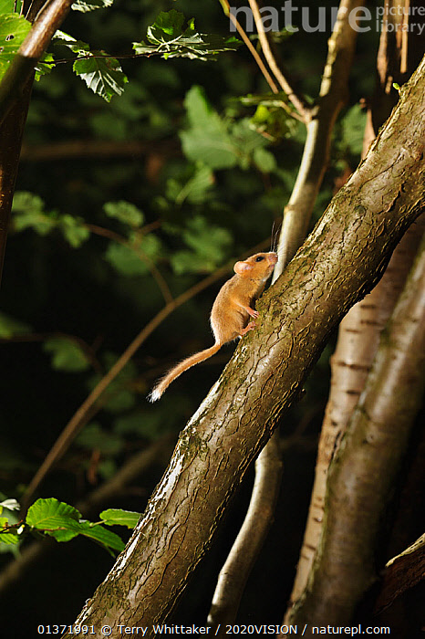 Hazel dormouse (Muscardinus avellanarius) running up branch of coppiced hazel tree, Kent, UK. Photographed in wild under licence with remote camera (camera trap), September  ,  2020VISON,BROADLEAF,CHESTNUT,CONSERVATION,COPPICE,DORMICE,ENDANGERED,ENGLAND,EUROPE,FORESTS,GLIRIDAE,MAMMALS,NIGHT,PROTECTED,RODENTS,UK,VERTEBRATES,VERTICAL,WOODLANDS,United Kingdom  ,  Terry Whittaker / 2020VISION