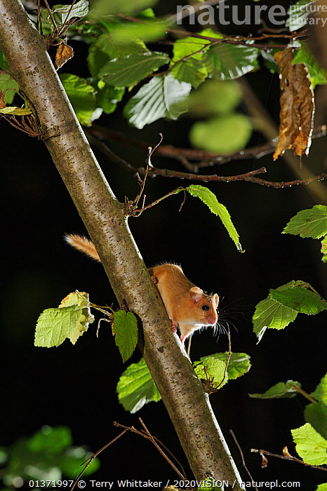 Hazel dormouse (Muscardinus avellanarius) in coppiced hazel tree, Kent, UK. Photographed in wild under licence with remote camera (camera trap), September. 2020VISION Book Plate., 2020vision book plate,BROADLEAF,coppice,DORMICE,EUROPE,FORESTS,GLIRIDAE,MAMMALS,protected,VERTICAL,2020VISON,chestnut,CONSERVATION,ENDANGERED,ENGLAND,NIGHT,rodents,UK,VERTEBRATES,WOODLANDS,United Kingdom,2020cc, Terry Whittaker / 2020VISION
