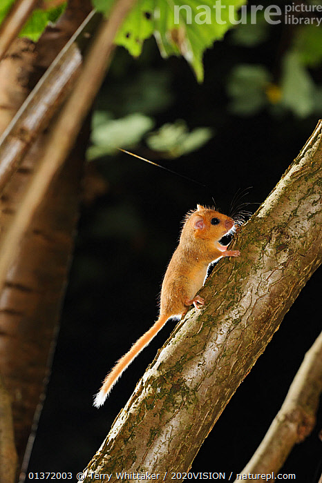 Hazel dormouse (Muscardinus avellanarius) in coppiced hazel tree, Kent, UK. Photographed in wild under licence with remote camera (camera trap), September  ,  2020VISON,BROADLEAF,CHESTNUT,CONSERVATION,COPPICE,DORMICE,ENDANGERED,ENGLAND,EUROPE,FORESTS,GLIRIDAE,MAMMALS,NIGHT,PROTECTED,RODENTS,UK,VERTEBRATES,VERTICAL,WOODLANDS,United Kingdom  ,  Terry Whittaker / 2020VISION