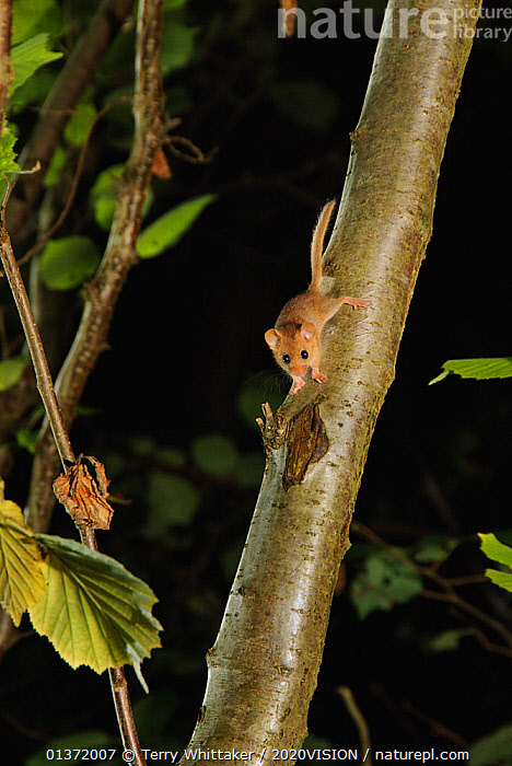 Hazel dormouse (Muscardinus avellanarius) on branch  in coppiced hazel tree, Kent, UK. Photographed in wild under licence with remote camera (camera trap), September  ,  2020VISON,BROADLEAF,CHESTNUT,CONSERVATION,COPPICE,DORMICE,ENDANGERED,ENGLAND,EUROPE,FORESTS,GLIRIDAE,MAMMALS,NIGHT,PROTECTED,RODENTS,UK,VERTEBRATES,VERTICAL,WOODLANDS,United Kingdom  ,  Terry Whittaker / 2020VISION