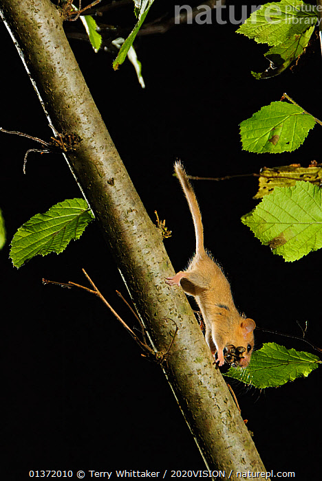 Hazel dormouse (Muscardinus avellanarius) running down branch in coppiced hazel tree, Kent, UK. Photographed in wild under licence with remote camera (camera trap), October  ,  2020VISON,BROADLEAF,CHESTNUT,CONSERVATION,COPPICE,DORMICE,ENDANGERED,ENGLAND,EUROPE,FORESTS,GLIRIDAE,MAMMALS,NIGHT,PROTECTED,RODENTS,UK,VERTEBRATES,VERTICAL,WOODLANDS,United Kingdom  ,  Terry Whittaker / 2020VISION