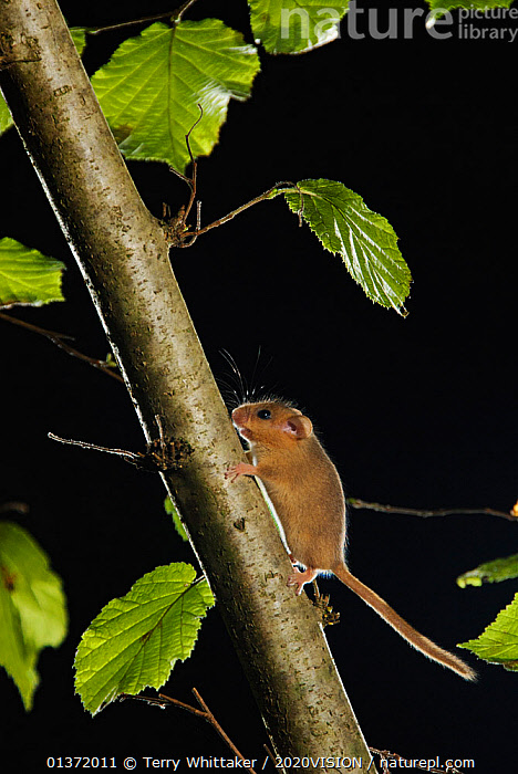 Hazel dormouse (Muscardinus avellanarius) running up branch in coppiced hazel tree, Kent, UK. Photographed in wild under licence with remote camera (camera trap), October  ,  2020VISON,BROADLEAF,CHESTNUT,CONSERVATION,COPPICE,DORMICE,ENDANGERED,ENGLAND,EUROPE,FORESTS,GLIRIDAE,MAMMALS,NIGHT,PROTECTED,RODENTS,UK,VERTEBRATES,VERTICAL,WOODLANDS,United Kingdom,2020cc  ,  Terry Whittaker / 2020VISION