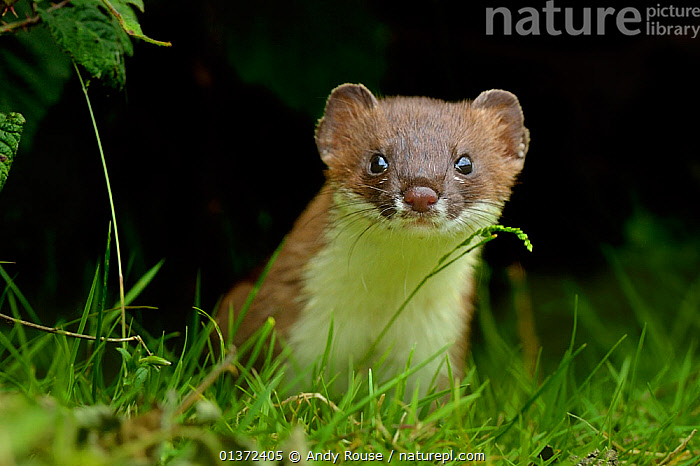 European Stoat (Mustela erminea) portrait. UK, July.  ,  CARNIVORES,CURIOUS,CUTE,EUROPE,EXPRESSIONS,FACES,INQUISITIVE,LOOKING AT CAMERA,MAMMALS,MUSTELIDAE,MUSTELIDS,UK,VERTEBRATES,WEASELS,United Kingdom  ,  Andy Rouse