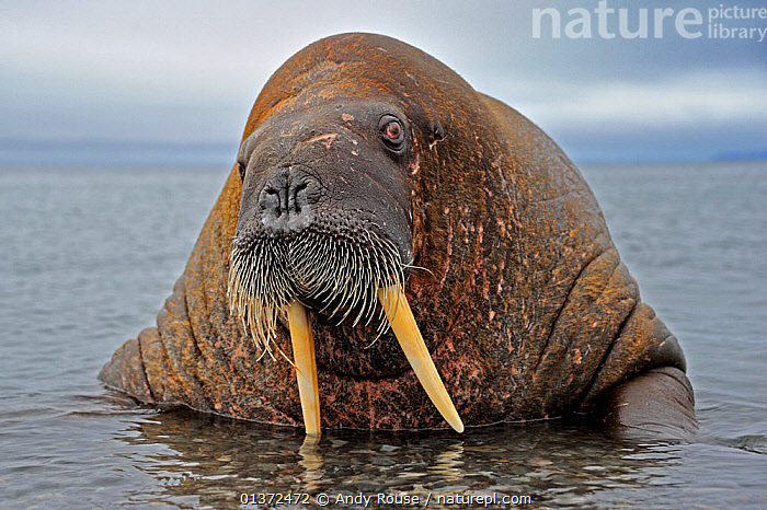 Male Walrus (Odobenbus rosmarus) in shallow water. Svalbard, Norway, August.  ,  animal head,ARCTIC,CARNIVORES,catalogue4,Characters,close up,EUROPE,EXPRESSIONS,facial expression,front view,male animal,MALES,MAMMALS,MARINE,Nobody,NORWAY,one animal,PINNIPEDS,POLAR,PORTRAITS,sea,Shallow,spitsbergen,spitzbergen,SURFACE,Svalbard,Tusk,VERTEBRATES,view to sea,WALRUSES,WATER,WILDLIFE,Scandinavia  ,  Andy Rouse